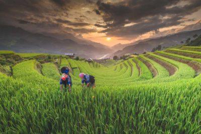 giornata mondiale dell'ambiente 2021 - donne in Vietnam raccolgono il riso nei campi